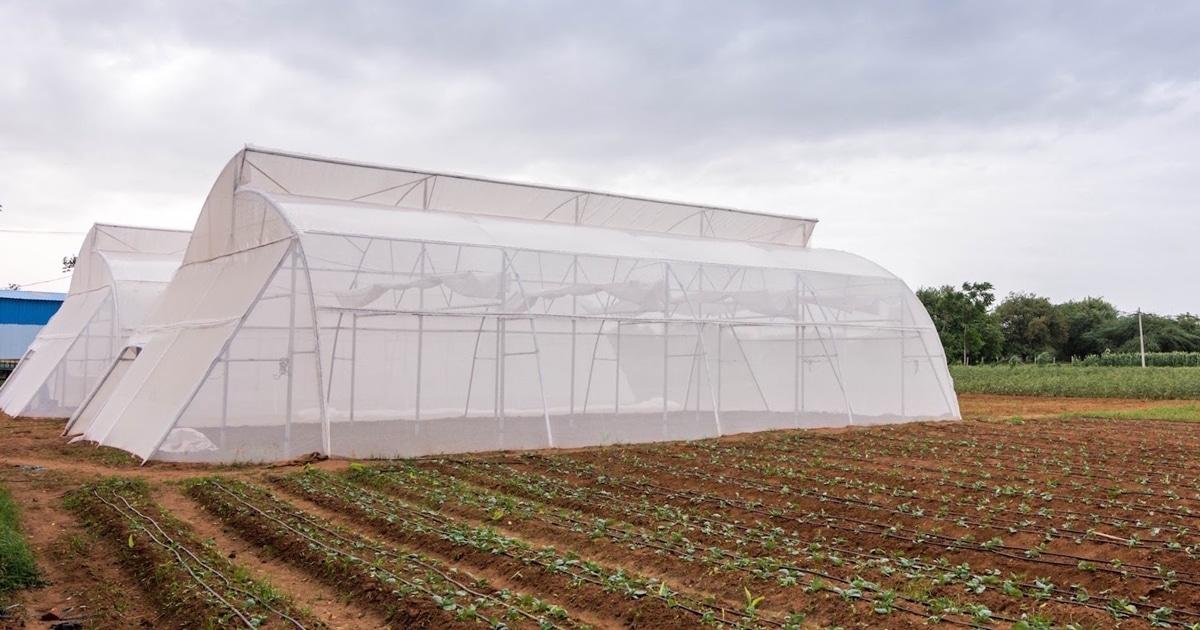 Làm nhà kính trồng rau công nghệ cao: người nông dân thu hoạch lớn ảnh