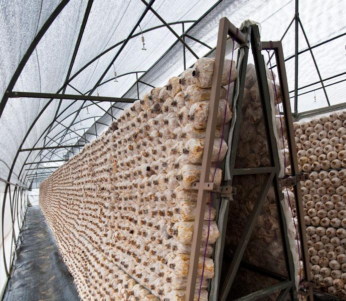 Mô hình nhà kính trồng nấm